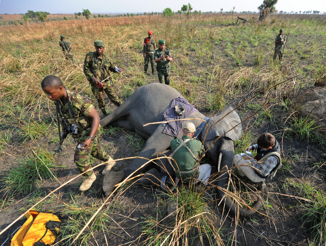 Congo elephant poacher gets 30 years forced labour