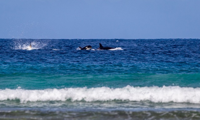 Fourth sighting in 20 years: Killer whales seen off Seychellois island
