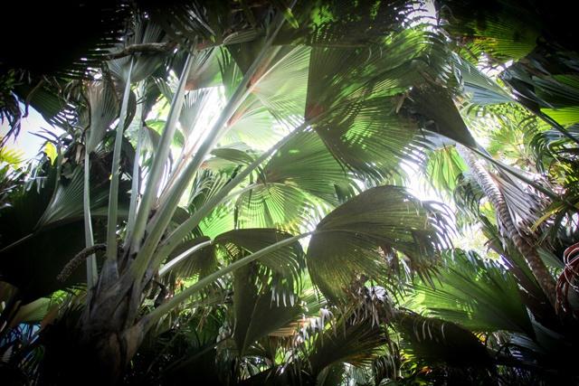 La réserve de coco de mer de Fond Ferdinand à Praslin placée sous une direction de la « Seychelles Islands foundation »