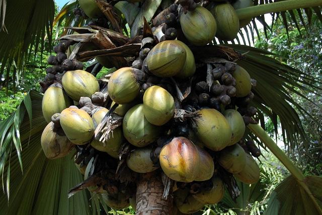 Seychelles' rare coco de mer nut on sale to help struggling park system