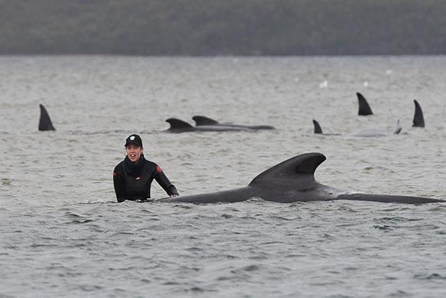 Mort de 380 cétacés coincés dans une baie en Tasmanie, selon un bilan des sauveteurs
