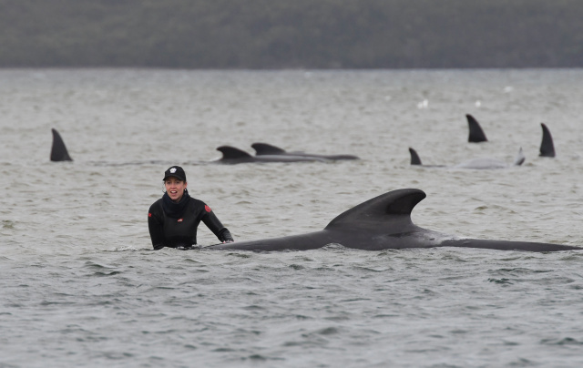 Whale stranding in New Zealand sparks rescue mission