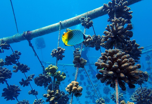 Over 50,000 corals raised in nurseries after 10 years of work by Nature Seychelles