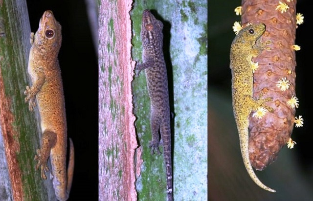 New law in Seychelles to protect giant bronze gecko, tiger chameleon against trafficking