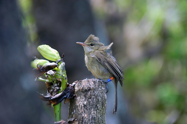 New study in Seychelles shows value of even elderly warblers raising their young