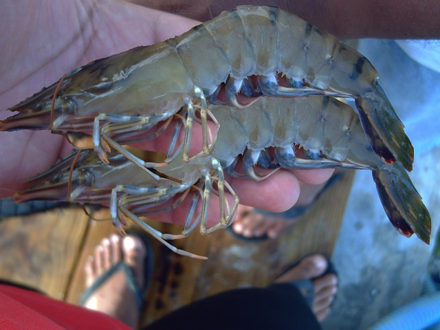 Seychellois team to manage relaunched prawn farm on Coetivy Island; foreign labour also needed