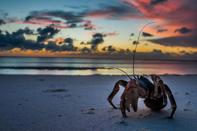 In decline elsewhere, new research confirms a healthy population of coconut crab on Seychelles' Aldabra Atoll
