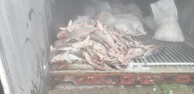 l'Autorité des pêches aux Seychelles saisi un filet avec de nombreux requins juveniles