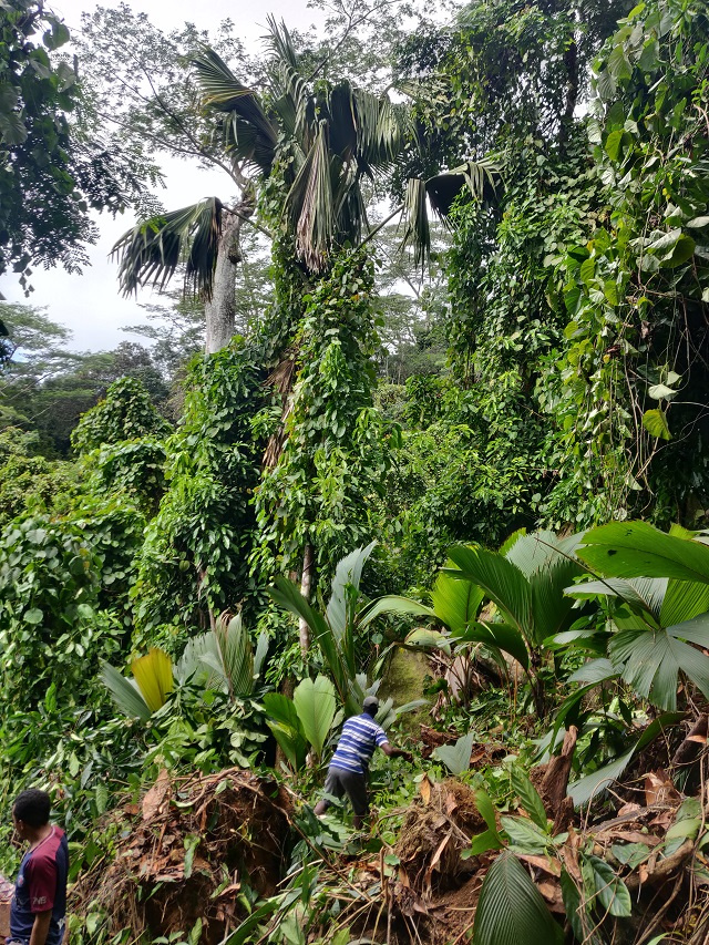 Project on Seychelles' Silhouette island protects coco de mer from invasive plant