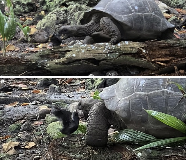 First-of-its kind video shows giant tortoise in Seychelles stalking, eating baby chick