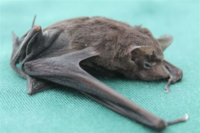 Image result for Seychelles Sheath-Tailed Bat