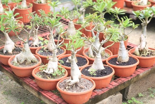 Super Des arbres miniatures cultivés aux Seychelles, une partie de l'art  FD76