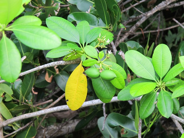 6 medicinal plants to cure what ails you in Seychelles
