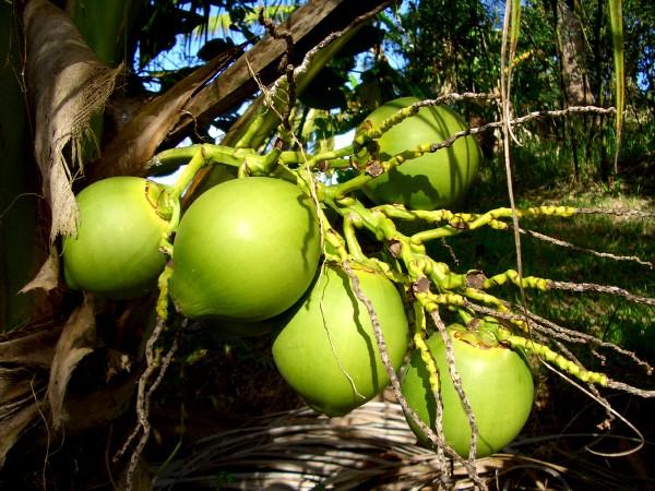 coconut tree medicinal uses